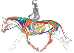 Biomécanique et anatomie du cheval