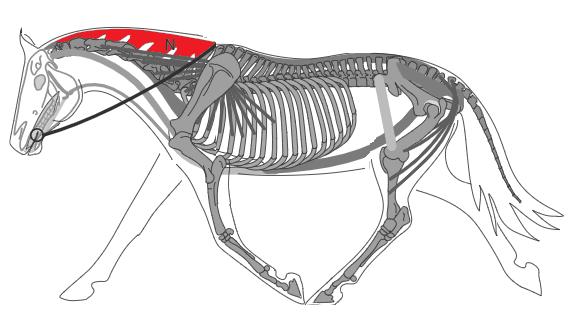 Biomécanique du cheval: ligament nucal