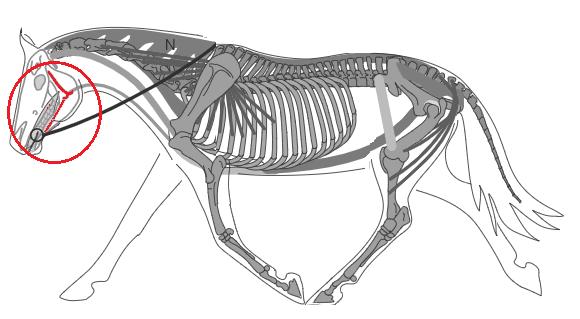 Biomécanique du cheval: la mâchoire