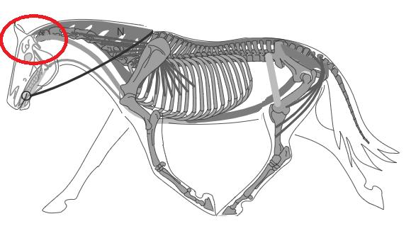 Biomécanique du cheval: la nuque